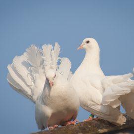 Fastelavn i Aale Kirke – mød duerne og deres fortælling